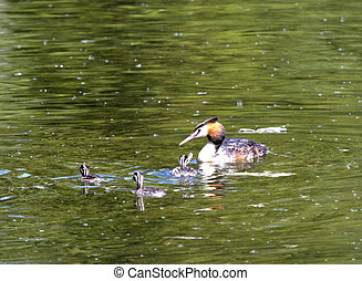 great crested grebe (Podiceps cristatus) with chick in the lake