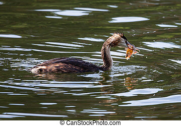 Great crested grebe (Podiceps cristatus) with its pray - common perch
