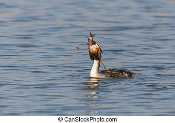 great crested grebe (podiceps cristatus) with prey in beak