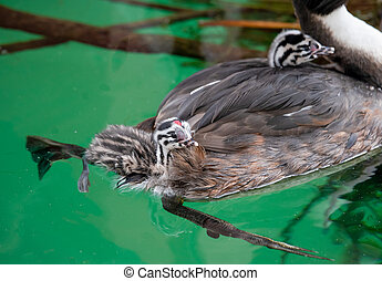 Great crested grebe (Podiceps cristatus) with young chicks on the back is swimming in lake Geneva, Switzerland.