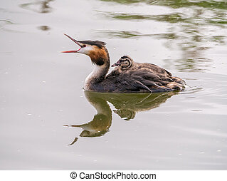 Great crested grebe, Podiceps cristatus, young carried on back of adult, Netherlands