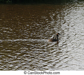 Great crested Grebe with children on her back in the river