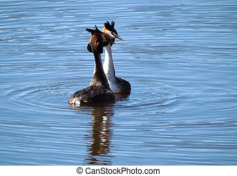 Great crested grebes mating in spring time