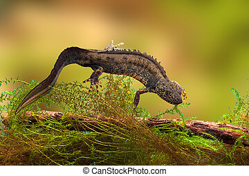 great crested newt or water dragon in fresh water pond...