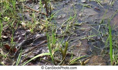 Great Crested Newt (Triturus) - Great Crested Newt (Triturus...