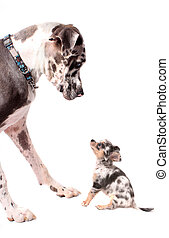 Great Dane and chihuahua dogs - Great Dane and little...