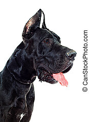 great Dane  - Black Great Dane sitting over white background