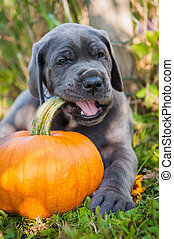 Great Dane dog and pumpkin