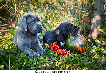 Great Dane dog and pumpkin