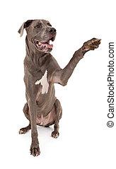 Great Dane Dog Extending Paw - Great Dane dog extending his...