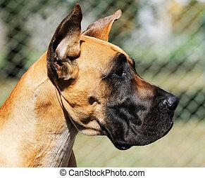 Great Dane Dog portrait - Great Dane Dog outdoor portrait...