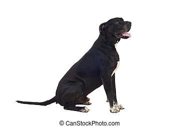 Great dane dog profile - Great Dane dog sitting down in...