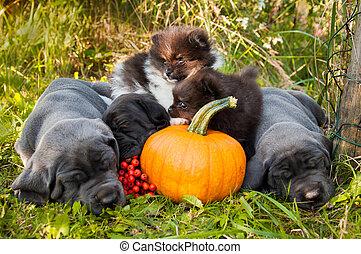 Great Dane dogs and Pomeranian Spitz puppies next to pumpkin