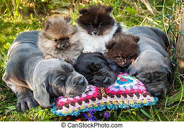 Great Dane dogs and Pomeranian Spitz puppies next to pumpkin