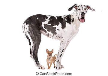 Great Dane HARLEQUIN and a chihuahua in front of a white...