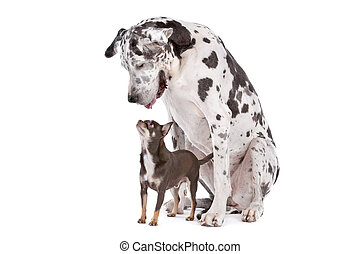 Great Dane HARLEQUIN and a chihuahua in front of a white ...