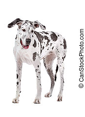 great dane harlequin
