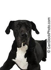 Great dane - He is Primo a beautiful black great dane