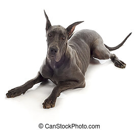 great dane laying down on white background - 10 month old...