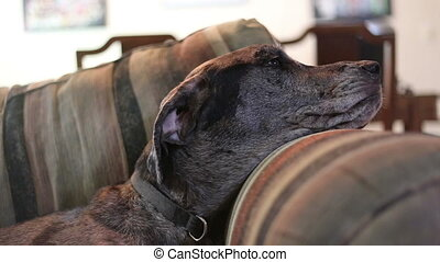 Great Dane Mastiff mix head on sofa