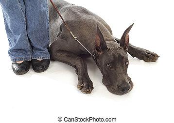 great dane on a leash