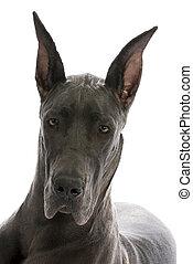 great dane portrait - great dane puppy portrait - blue...