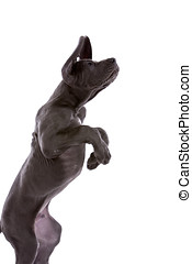 Great dane pup jumping on white background