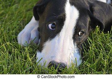 Great dane puppy - Cute Great Dane puppy