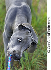 Great Dane puppy - The puppy of a great dane pulling a cord