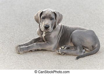 Great Dane puppy - Great Dane puppy, resting on the asphalt...