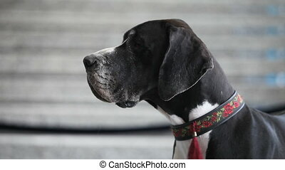 Great Dane - muzzle of a large Great Dane, side view,...