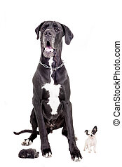 Great Dane with puppies