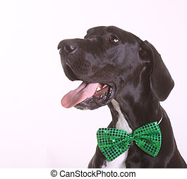 Great Dane with St. Patrick's Day bow tie.