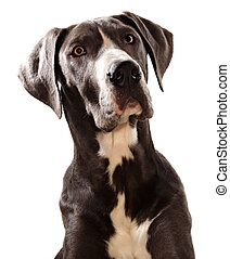 Great Danes dog