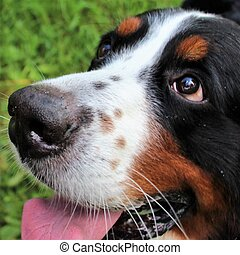 Great dog - Bernese mountain Dog!