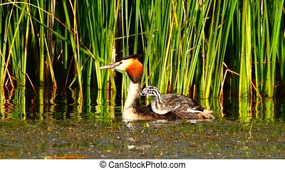great  duck and duckling on the lake