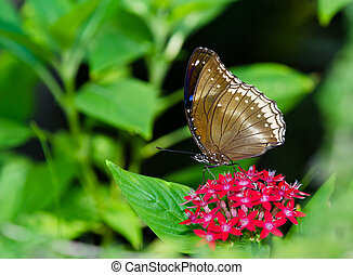 Great Egg-Fly butterfly