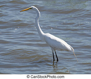 Great egret wading in the Mississippi River