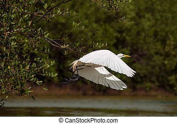 A great egret in the process of taking off.