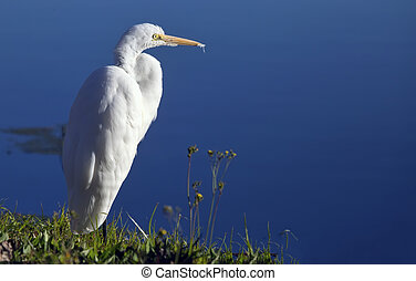A lone great egret (Ardea alba) on the shore of a lake.