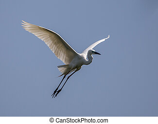 Great Egret ( Ardea alba ) bird of Thailand