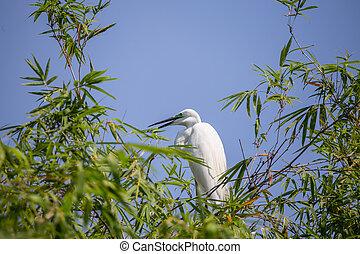 Great Egret ( Ardea alba ) bird of Thailand