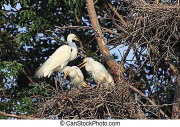 Great Egret (Ardea alba) breeding in Japan