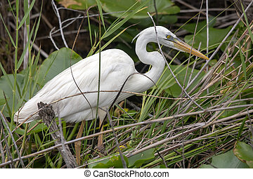 Closeup of a single great egret (Ardea alba) hunting in a grassy shallow stream.