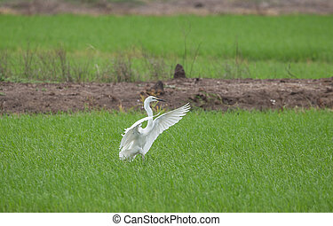 Great egret ( Ardea alba ) fly into the field of Thailand.
