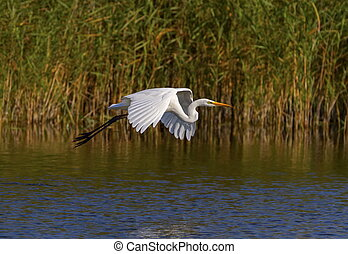 Great egret, ardea alba, flying, Neuchatel lake, Switzerland