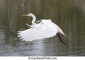 Great Egret (Ardea alba) flying over the Florida Everglades