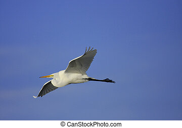 Great Egret (Ardea alba) flying