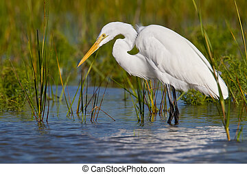 "Great Egret (Ardea alba) - Great Egret also known as ""..."
