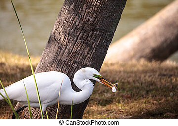 Great Egret Ardea alba in a marsh at Lakes Park